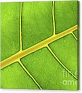 Green Leaf Close Up Canvas Print