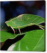 Green Leaf-mimic Katydid Steirodon Canvas Print