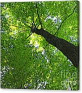 Green Maple Canopy Canvas Print
