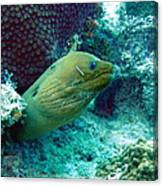 Green Moray Eel With Cleaning Fish Canvas Print