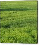 Green Paddy Fields 1 Canvas Print