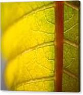 Green Poinsettia Leaf Canvas Print