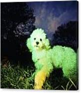 Green Poodle Canvas Print
