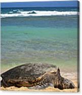 Green Sea Turtle - Kauai Canvas Print