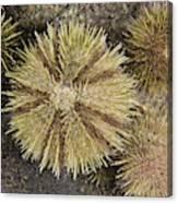 Green Sea Urchins Canvas Print