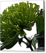 Green Shamrock Chrysanthemum. Canvas Print