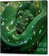 Green Tree Python Curled Canvas Print