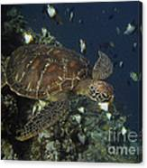 Hawksbill Turtle Canvas Print