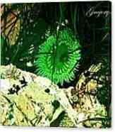 Green Urchin Canvas Print