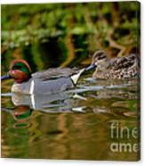 Green-winged Teal Pair Canvas Print