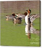 Green-winged Teals Canvas Print