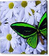 Green Wings In The Mums Canvas Print