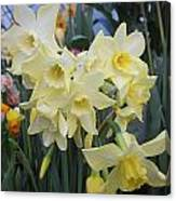 Greenhouse Daffodils Canvas Print