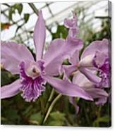 Greenhouse Ruffly Orchids Canvas Print