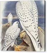 Greenland Falcon Canvas Print