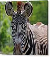 Grevy Zebra Canvas Print