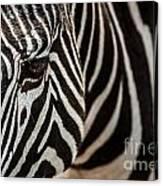 Grevy's Zebra 4 Canvas Print