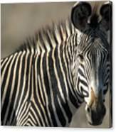 Grevys Zebra Standing In Plains Kenya Canvas Print