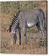 Grevys Zebra Canvas Print