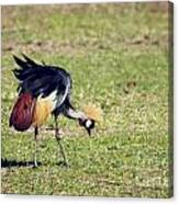 Grey Crowned Crane. The National Bird Of Uganda Canvas Print