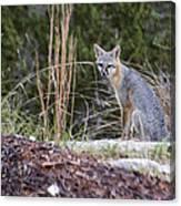Grey Fox At Rest Canvas Print