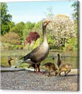 Grey Geese And Goslings Canvas Print