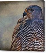 Grey Hawk Canvas Print