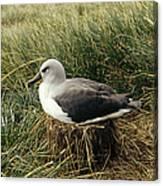 Grey-headed Albatross Nesting Chile Canvas Print
