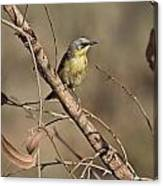 Grey- Headed Honeyeater Canvas Print