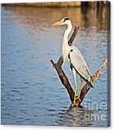 Grey Heron  Ardea Cinerea Canvas Print