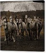 Grey Horses Canvas Print