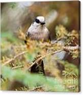 Grey Jay Perisoreus Canadensis Watching Perched Canvas Print