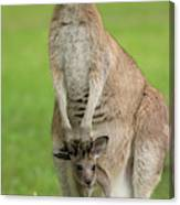 Grey Kangaroo And Joey  Canvas Print