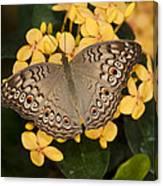 Grey Pansy Butterfly Arizona Canvas Print