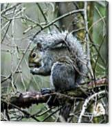 Grey Squirrel Canvas Print