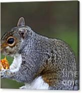 Grey Squirrel Tucking In Canvas Print