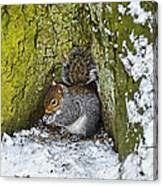 Grey Squirrel With Its Food Store Canvas Print