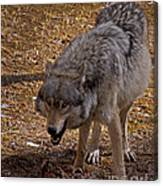 Grey Wolf   #2637-signed Canvas Print