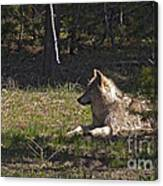 Grey Wolf   #3273-signed Canvas Print