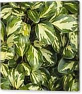 Grisilinia Littoralis 'dixon's Cream' Canvas Print