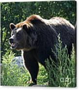 Grizzly-7756 Canvas Print