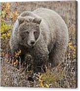 Grizzly Amongst Fall Foliage In Denali Canvas Print