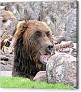 Grizzly Bear 02 Postcard Canvas Print