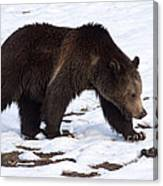 Grizzly Bear  #2463 Canvas Print