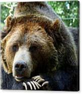 Grizzly Bear At Rest In Colorado Wildneress Canvas Print