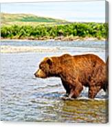 Grizzly Bear Determined To Catch A Salmon This Time In The Moraine River  Canvas Print