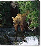 Grizzly Bear Fishing Brooks River Falls Canvas Print