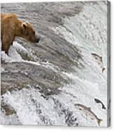 Grizzly Bear Fishing For Sockeye Salmon Canvas Print