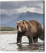Grizzly Bear In River Katmai Np Alaska Canvas Print