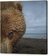 Grizzly Bear In Tidal Flats Alaska Canvas Print